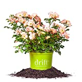 buy PEACH DRIFT ROSE - Size: 1 Gallon, live plant, includes special blend fertilizer & planting guide now, new 2018-2017 bestseller, review and Photo, best price $28.99
