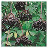 full shade shrubs Johns Elderberry - Tree - Shrub - Fruit - Established Roots - 1 Plant in 2 Gallon Pot by Growers Solution