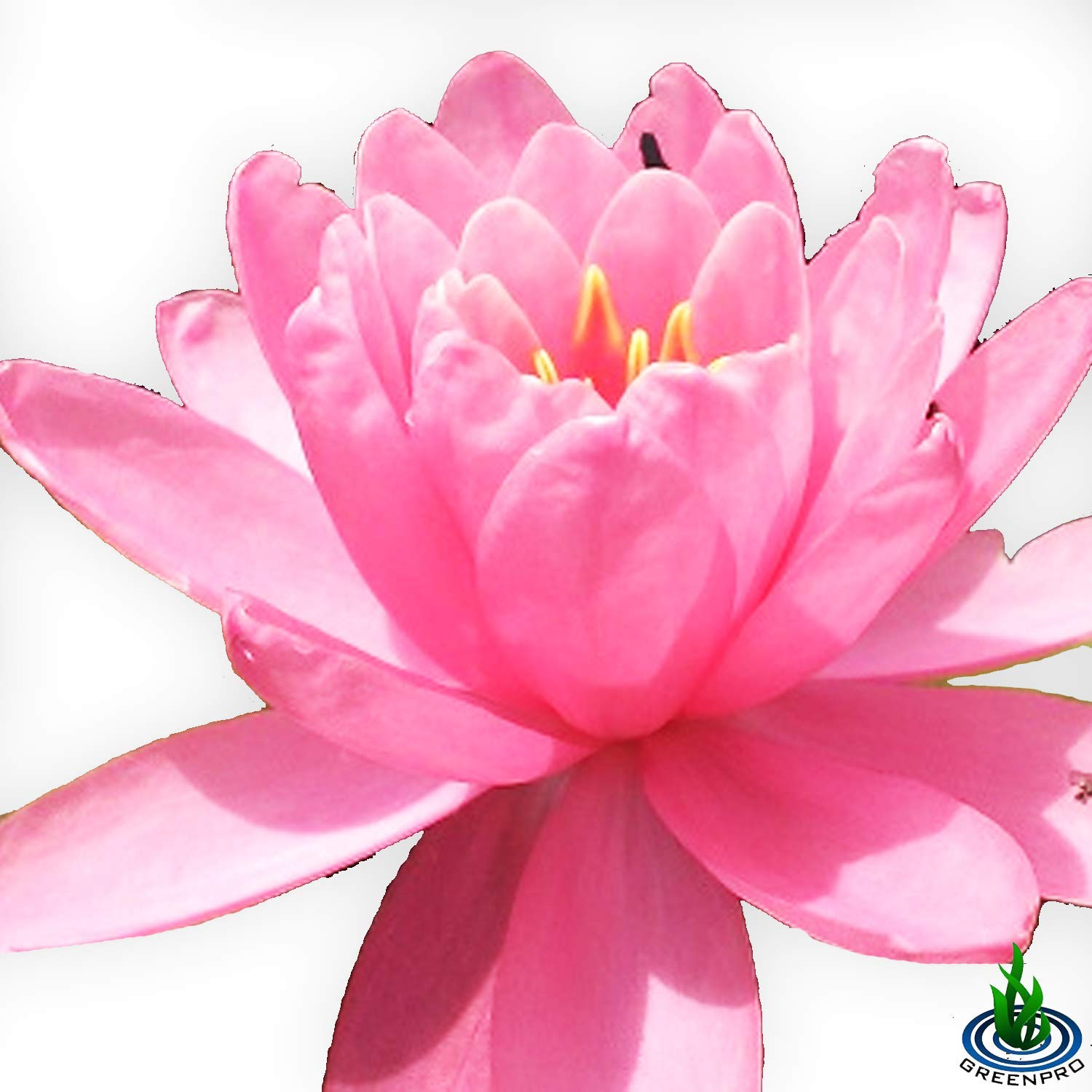 Live Water Lily Tuber Nymphaea Perry's Fire Opal Pink Red Hardy Aquatic Plants for Aquarium Freshwater Fish Pond Flower Garden by Greenpro (Image #5)
