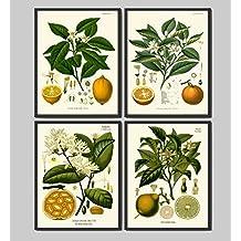 Lemon Orange Fruit Print Set of 4 Antique Flowers Lemon Lime Orange Home Wall Art Decor Unframed
