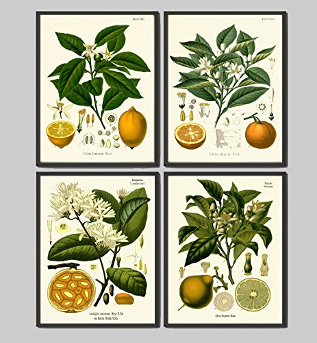Lemon Orange Fruit Print Set of 4 Antique Flowers Lemon Lime Orange