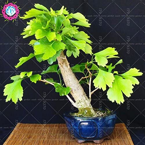 Ginkgo Biloba Plants Bonsai 5 PCS Seeds Perennial Flowers Tree Golden Garden NEW
