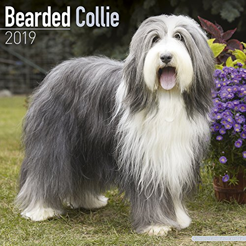 Bearded Collie Calendar - Dog Breed Calendars - 2018 - 2019 Wall Calendars - 16 Month by Avonside ()