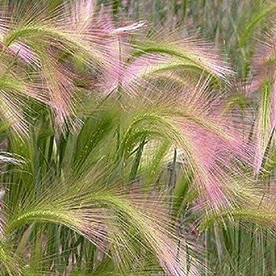 200 Seeds Foxtail Barley Seeds (Hordeum Jubatum) Squirrel Tail Grass AB012 : Garden & Outdoor