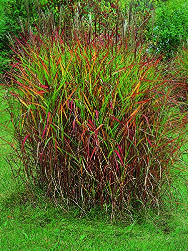 Perennial Farm Marketplace Miscanthus 'Purpurascens' ((Red-Leaved) Ornamental Grass, Size-#1 Container, Reddish-Orange Magenta Colored Blooms