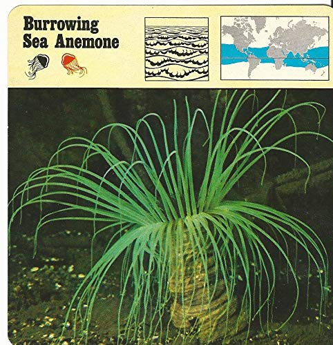 1975 Editions Rencontre, Animals Card, 13.311 Burrowing Sea Anemone