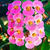2016 Rare 50pcs Green Euphorbia Milii Seeds Beautiful Wedding Flower Plants For Home Garden Very Easy Grow