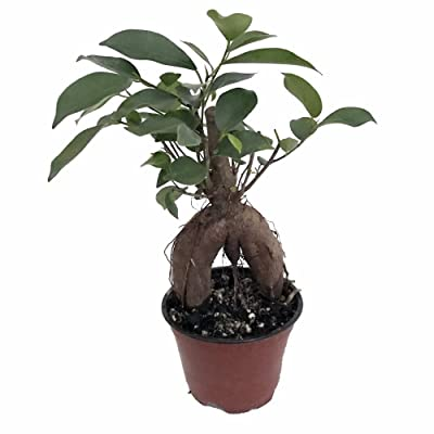 "'Green Island' Ficus Pre-Bonsai Tree - 4"" Pot: Toys & Games"