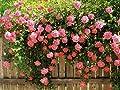 5 PINK CLIMBING ROSE Rosa Bush Vine Climber Fragrant Butterfly Flower Seeds
