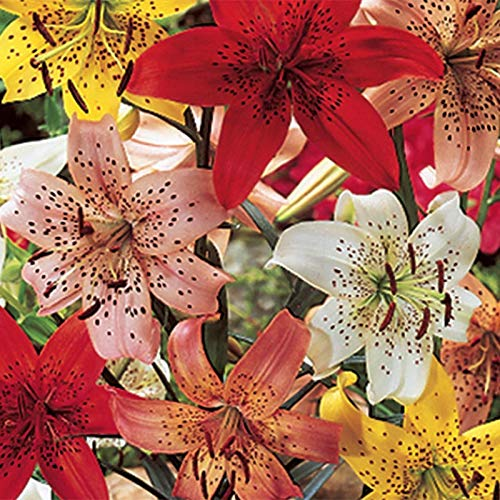 6 Tiger Lily Mix (Bulbs) red, Yellow, White,Black, Orange ()
