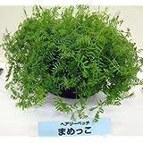 ヘアリーベッチ まめっこ 1kg入り[タネ][緑肥・景観作物 約300平米分 秋・春まき] ノーブランド品