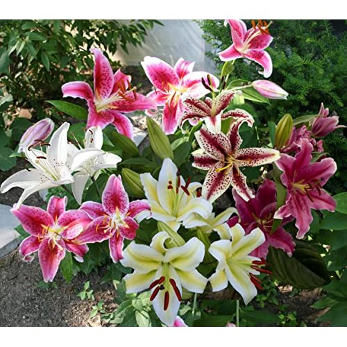 Mixed Oriental Lily Bulbs (Pack of 8) - Fragrant Blooms!