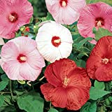 Hibiscus 'Disco Belle' - 10 Seeds - Perennial