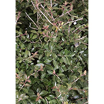 Dwarf Yaupon Holly : Garden & Outdoor
