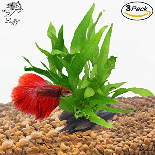 Luffy luffy 3pcs java fern for betta owners creates a for Betta fish natural environment