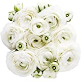 White French Peony Ranunculus -12 Largest Size Corms Bulbs