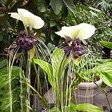 White Bat Plant Tacca integrifolia Live Plant Unique tropical flower specimen