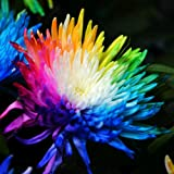 100 Rainbow Chrysanthemum Flower Seeds,rare Special Unique Colorful unusual H9O3
