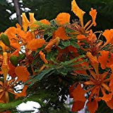 DELONIX REGIA orange Flamboyant tree BULK seeds