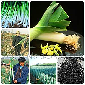100 PC / semillas vegetales bolsa de esterilización, ajo gigante, semillas de puerro, cebolla verde China, Semillas de cebolla gigante, Planta Bonsai Garden