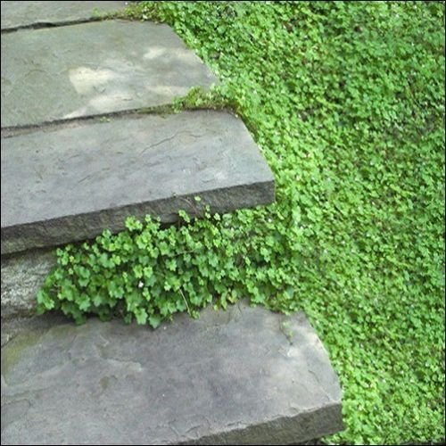 (Kenilworth Ivy Seeds (Cymbalaria Muralis))