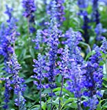 Earthcare Seeds Blue Sage 500 Seeds (Salvia farinacea) Non GMO, Heirloom