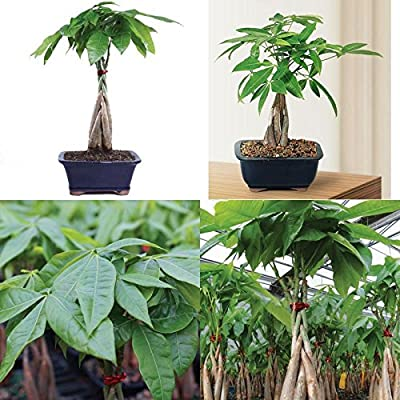 Bonsai Money Tree Grove Plant 4 Years Indoor Houseplant or Office Best Gift New : Grocery & Gourmet Food