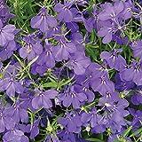 Burpee Crystal Palace Blue Lobelia Seeds 500 seeds