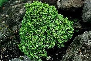 2 Year PLANT of Chamaecyparis Obtusa Leprechaun