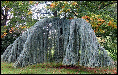 Weeping Blue Atlas Cedar 3 - Year Live Tree by Japanese Maples and Evergreens (Image #6)