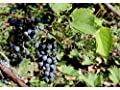 25 Seeds Riverbank Grape (Vitis riparia) Fruit Vine
