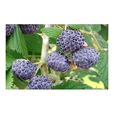 Rubus leucodermis - Blue Raspberry - 10 Seeds : Garden & Outdoor