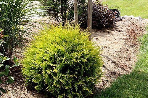 Golden Globe Dwarf Arborvitae - Live Plant - 3 Gallon Pot by New Life Nursery & Garden (Image #1)