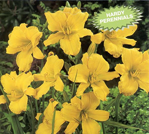 Stella D'oro Yellow Daylilies - 10 Bare Root Perennials Re-Bloomer