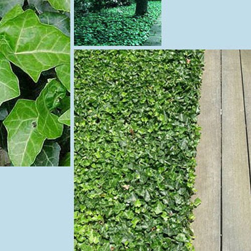 Hirt's Baltic English Ivy 48 Plants - Hardy Groundcover -1 3/4'' Pots