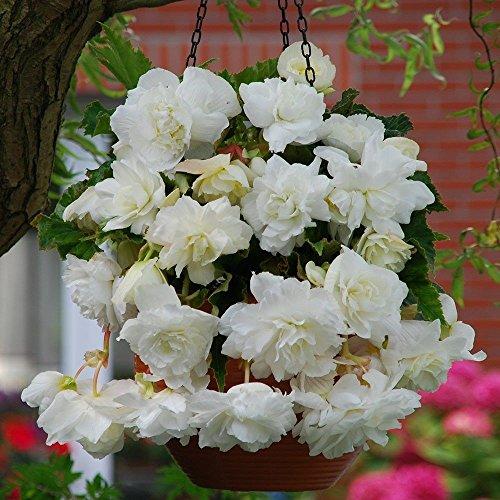 Begonia Bulbs, pendula white ( 2 Bulbs) One of the most popular PLANT