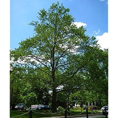 500 American Sycamore Tree Seeds, Platanus Occidentalis : Garden & Outdoor
