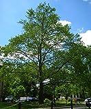 50 American Sycamore Tree Seeds, Platanus Occidentalis