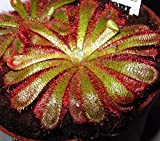 True Source Seeds - Sundew Drosera Aliciae South African Carnivorous Plant 6 Seeds