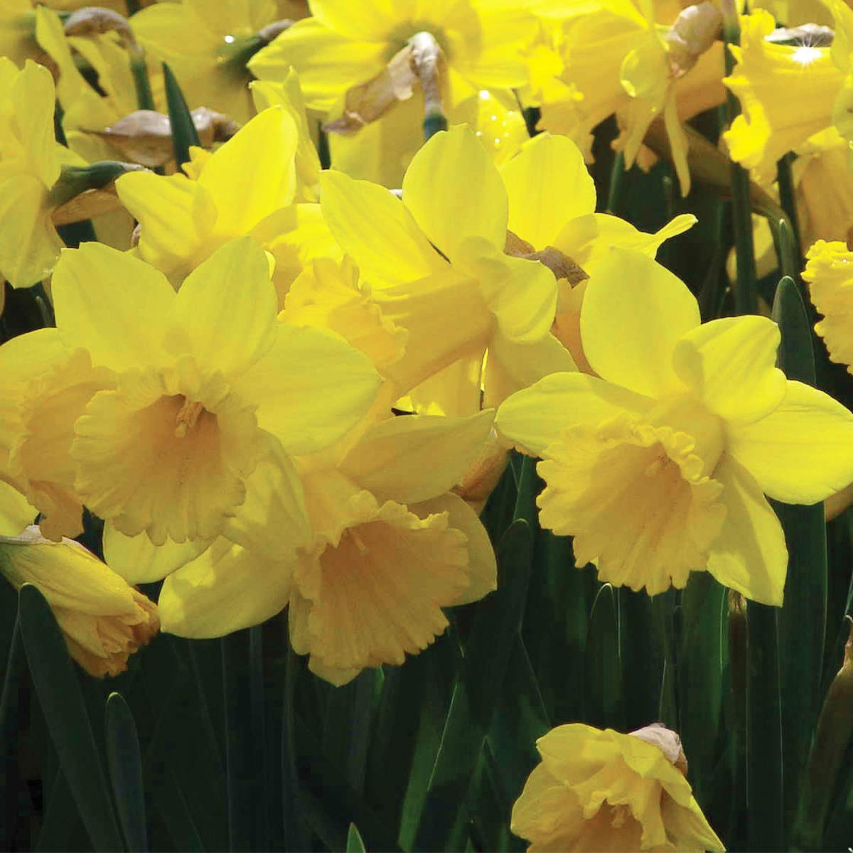 Burpee Trumpet Daffodil - 150 Flower Bulbs   Yellow