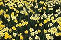 Huang Hillside Of Daffodils Louisville Kentucky - Art Print Canvas Decorative Fine Art Poster Print, Unframed (35.4x23.6Inch)