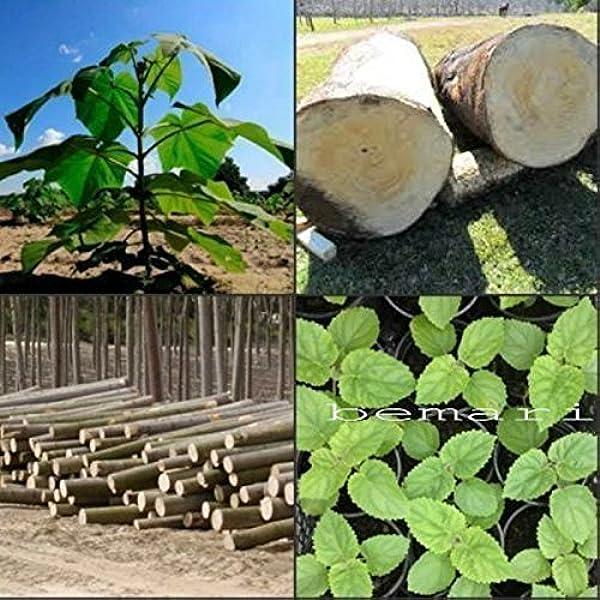Paulownia elongata más de 100 semillas frescas regalo real árbol ...
