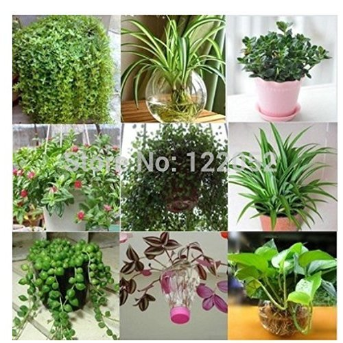 purification flowers formaldehyde hydroponic Chlorophytum