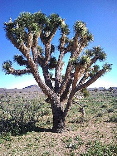 Amazon 5 joshua tree palm tree yucca brevifolia white flowers 5 joshua tree palm tree yucca brevifolia white flowers cactus succulent seeds mightylinksfo