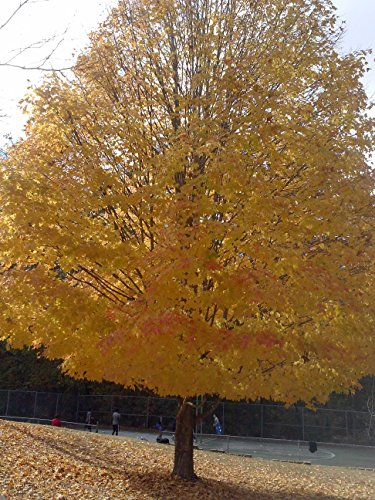 (2 plants) Ginkgo Trees Unusual Leaf , Ginkgo Tree Unusual Leaf, Great Yellow Fall Color, Historical Tree & a Beauty,