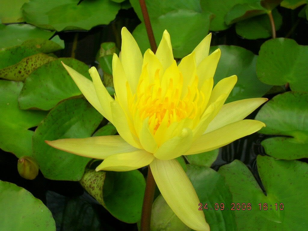 Amazon 10 Yellow Lotus Sacred Water Lily Lily Pad Asian