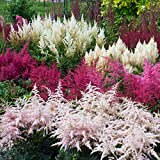 Outsidepride Astilbe Arendsii Bunter Plant Seed - 1000 Seeds