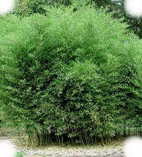 Amazon Com Phyllostachys Bissetti David Bisset Bamboo Very Cold
