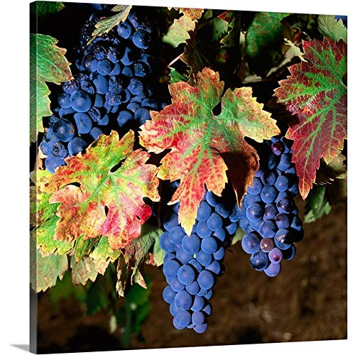 GREATBIGCANVAS Gallery-Wrapped Canvas Entitled Zinfandel Grapes in Autumn, Brandlin Vineyard. by 48