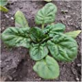 Package of 400 Seeds, Giant Nobel Spinach (Spinacia oleracea) Non-GMO Seeds By Seed Needs